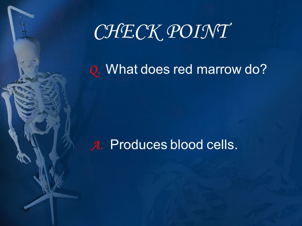 CHECK POINT Q. What does red marrow do A. Produces blood cells.
