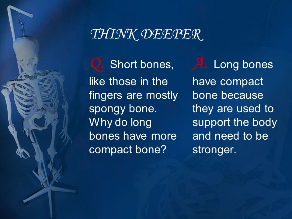 THINK DEEPER Q. Short bones, like those in the fingers are mostly spongy bone. Why do long bones have more compact bone