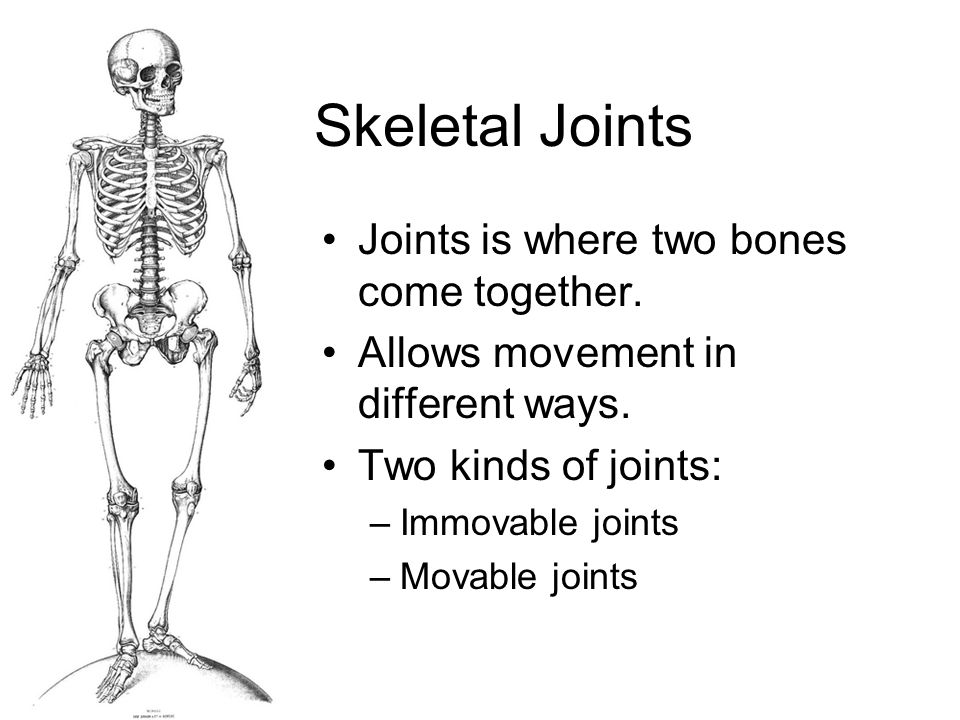 Skeletal Joints Joints is where two bones come together.