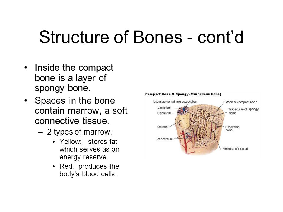 Structure of Bones - cont'd