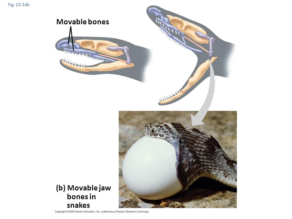 Movable bones (b) Movable jaw bones in snakes Fig. 23-14b