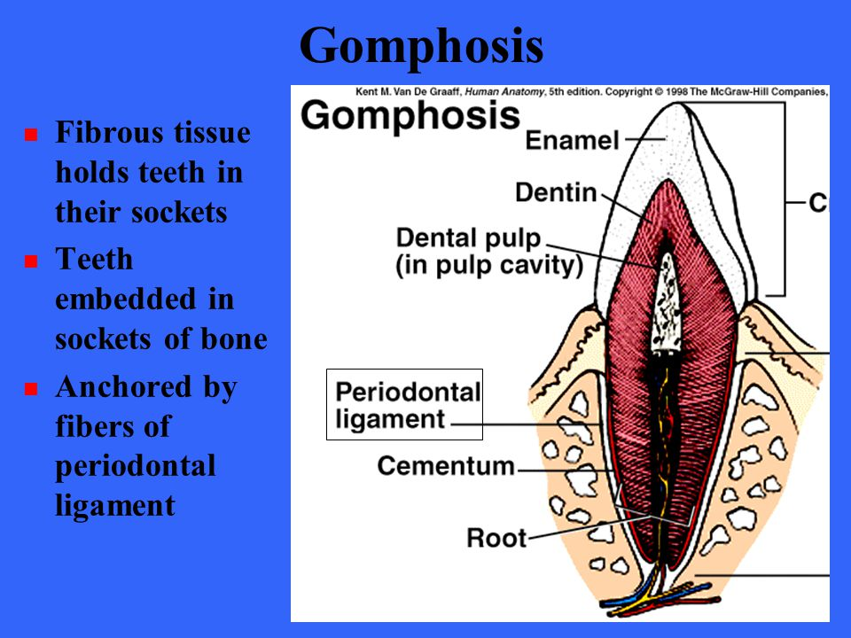 Gomphosis Fibrous tissue holds teeth in their sockets