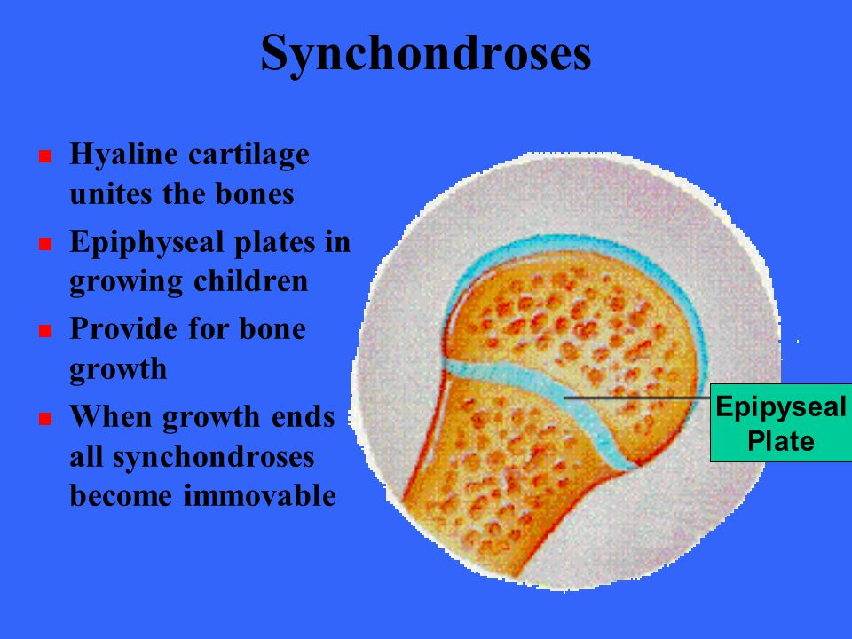 Synchondroses Hyaline cartilage unites the bones
