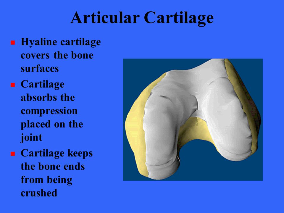 Articular Cartilage Hyaline cartilage covers the bone surfaces