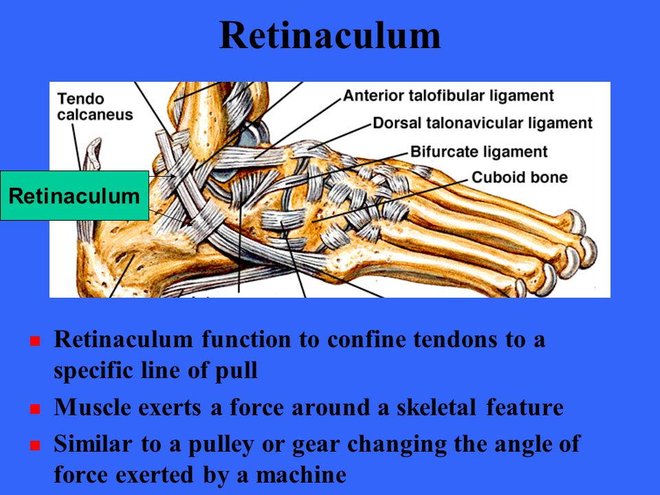 Retinaculum Retinaculum. Retinaculum function to confine tendons to a specific line of pull. Muscle exerts a force around a skeletal feature.