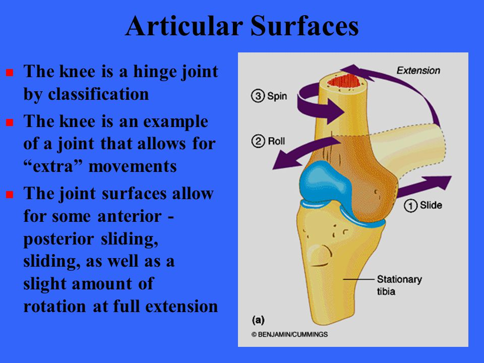 Articular Surfaces The knee is a hinge joint by classification