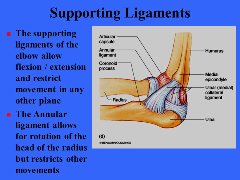 Supporting Ligaments The supporting ligaments of the elbow allow flexion / extension and restrict movement in any other plane.