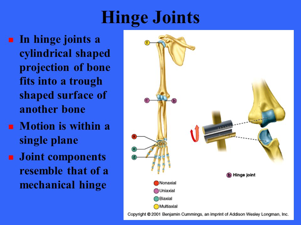 Hinge Joints In hinge joints a cylindrical shaped projection of bone fits into a trough shaped surface of another bone.
