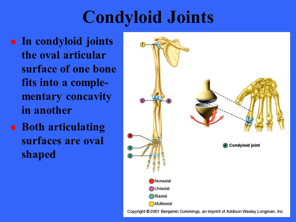 Condyloid Joints In condyloid joints the oval articular surface of one bone fits into a comple- mentary concavity in another.