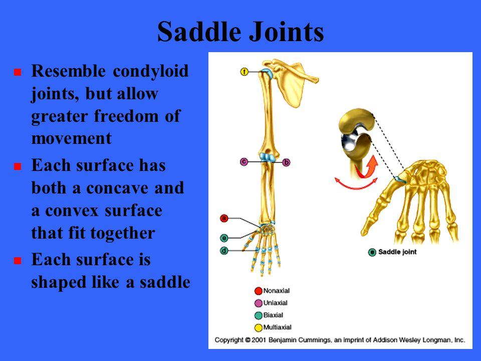 Saddle Joints Resemble condyloid joints, but allow greater freedom of movement.