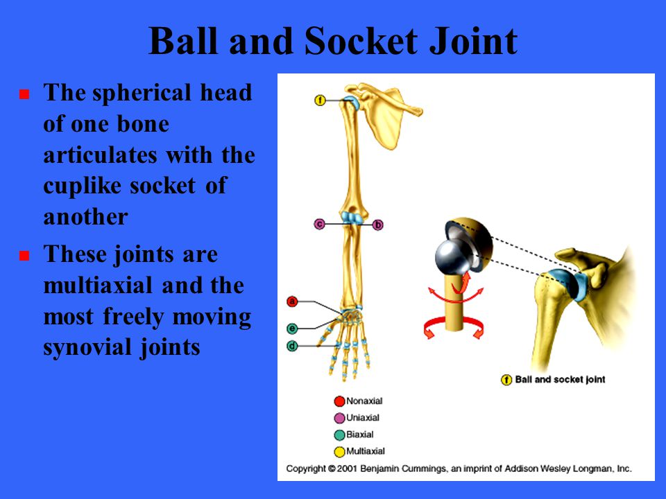 Ball and Socket Joint The spherical head of one bone articulates with the cuplike socket of another.