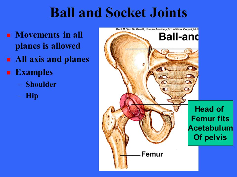 Ball and Socket Joints Movements in all planes is allowed