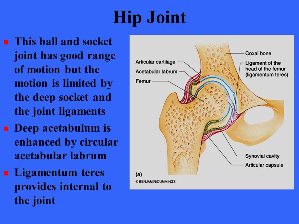 Hip Joint This ball and socket joint has good range of motion but the motion is limited by the deep socket and the joint ligaments.
