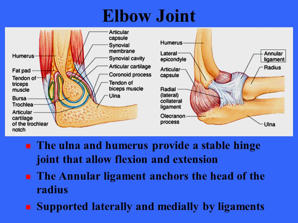 Elbow Joint The ulna and humerus provide a stable hinge joint that allow flexion and extension. The Annular ligament anchors the head of the radius.