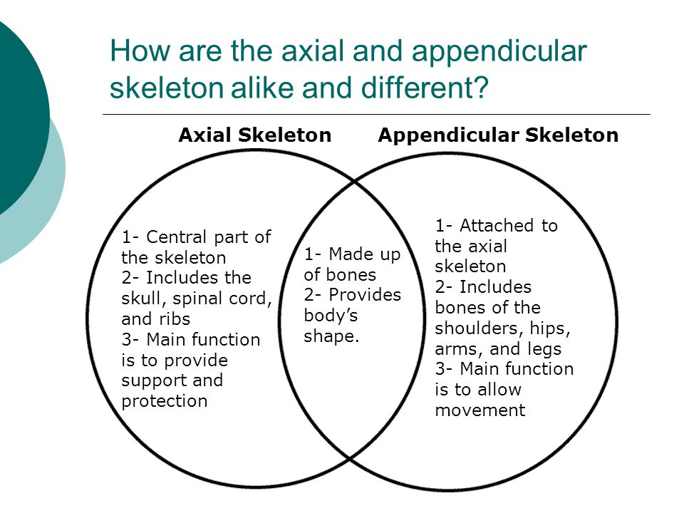 How are the axial and appendicular skeleton alike and different