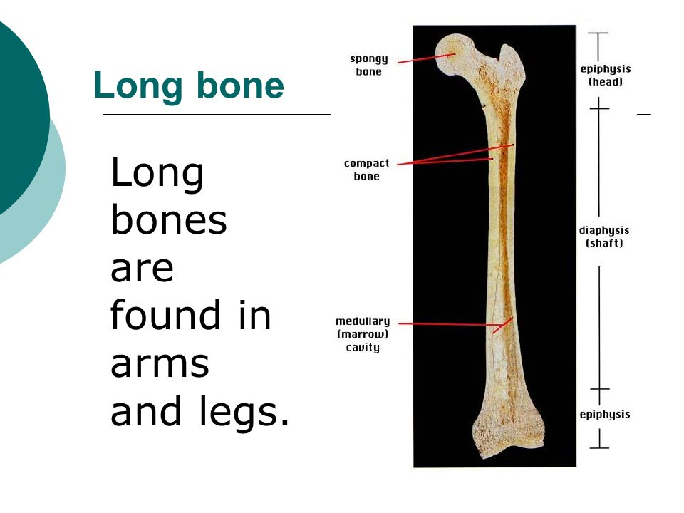 Long bones are found in arms and legs.