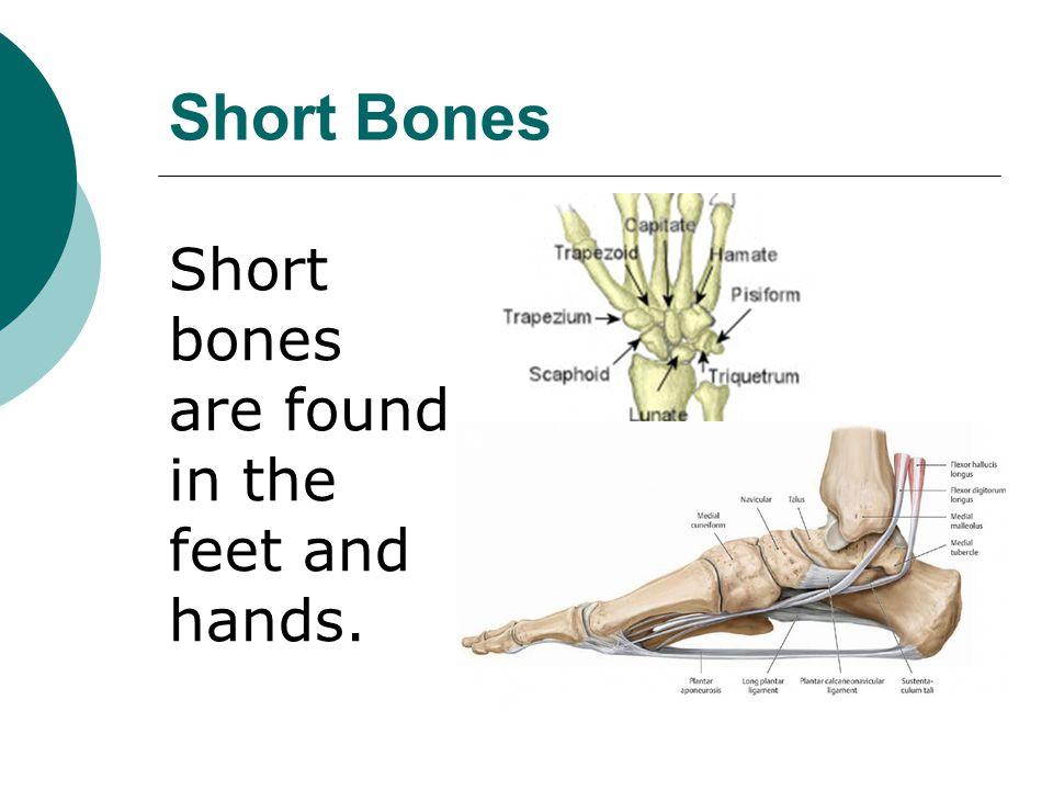 Short Bones Short bones are found in the feet and hands.