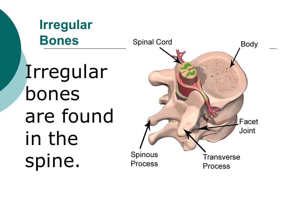 Irregular bones are found in the spine.