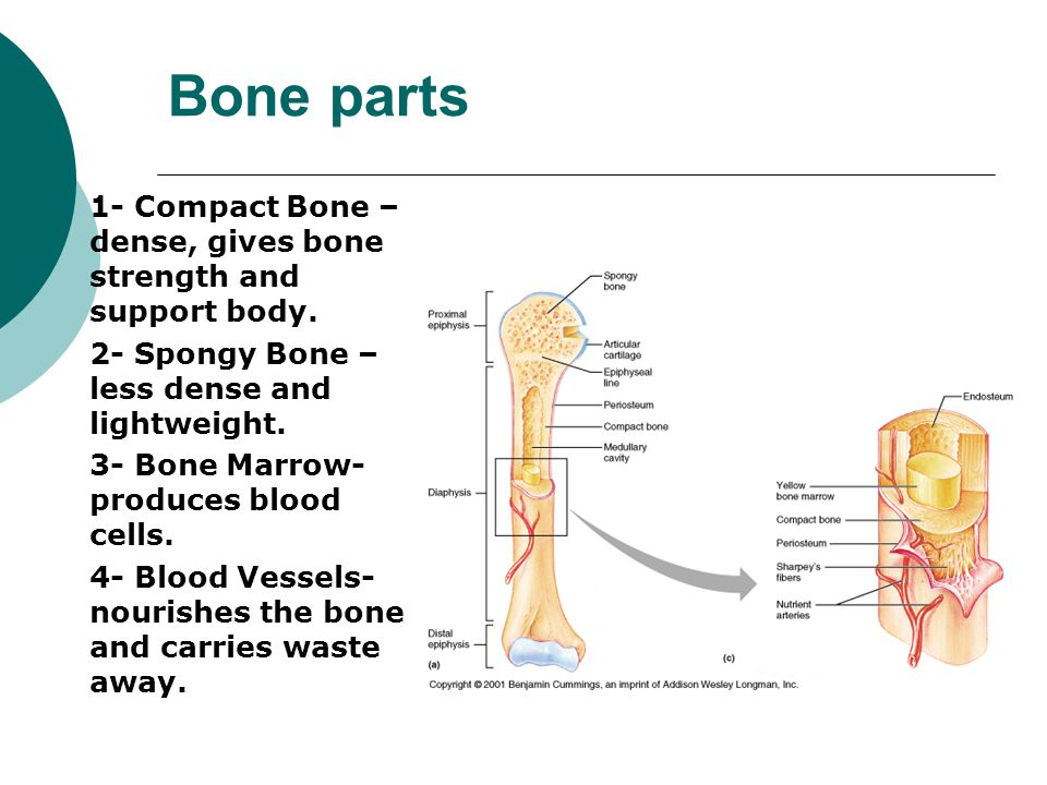 Bone parts 1- Compact Bone – dense, gives bone strength and support body. 2- Spongy Bone – less dense and lightweight.