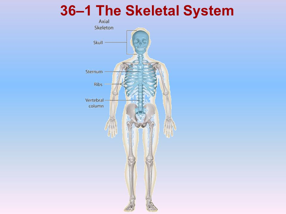 36–1 The Skeletal System Photo Credit: © Getty Images