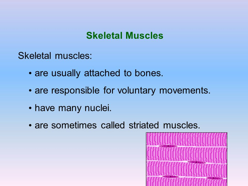 Skeletal Muscles Skeletal muscles: are usually attached to bones. are responsible for voluntary movements.