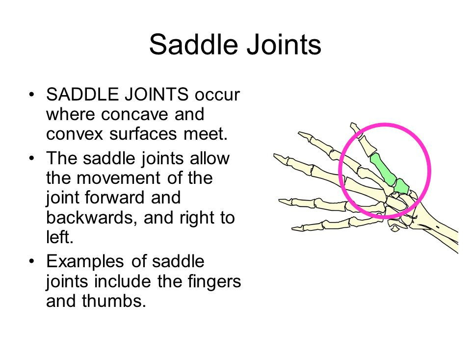 Saddle Joints SADDLE JOINTS occur where concave and convex surfaces meet.