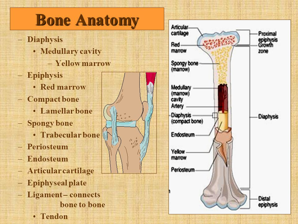 Bone Anatomy Diaphysis Medullary cavity Yellow marrow Epiphysis