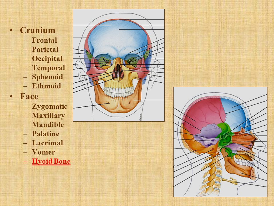 Cranium Face Frontal Parietal Occipital Temporal Sphenoid Ethmoid