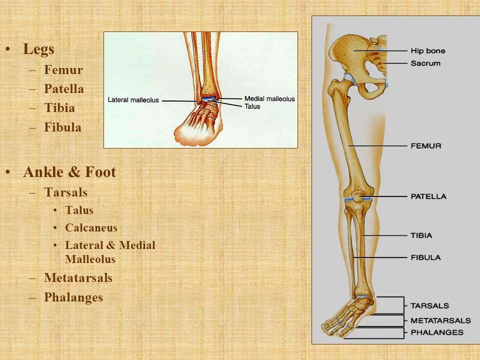 Legs Ankle & Foot Femur Patella Tibia Fibula Tarsals Metatarsals