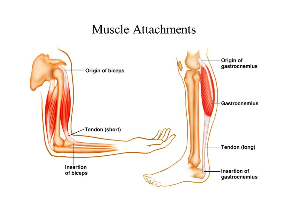 Muscle Attachments