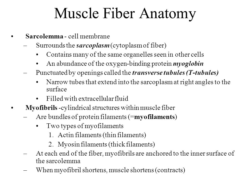 Muscle Fiber Anatomy Sarcolemma - cell membrane
