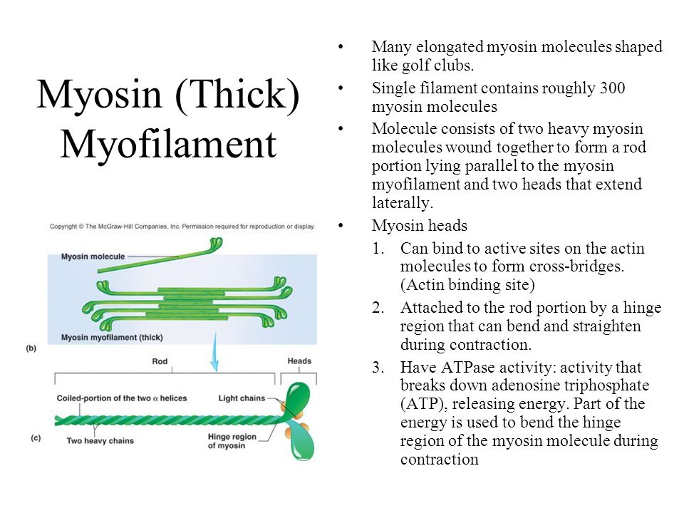 Myosin (Thick) Myofilament