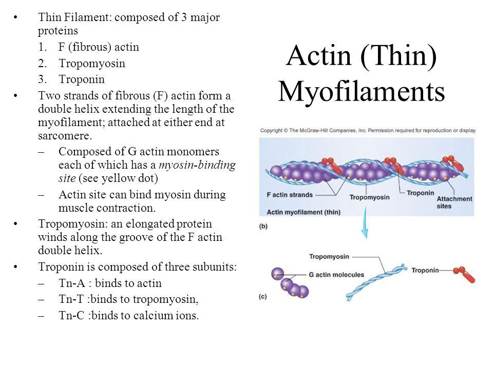 Actin (Thin) Myofilaments