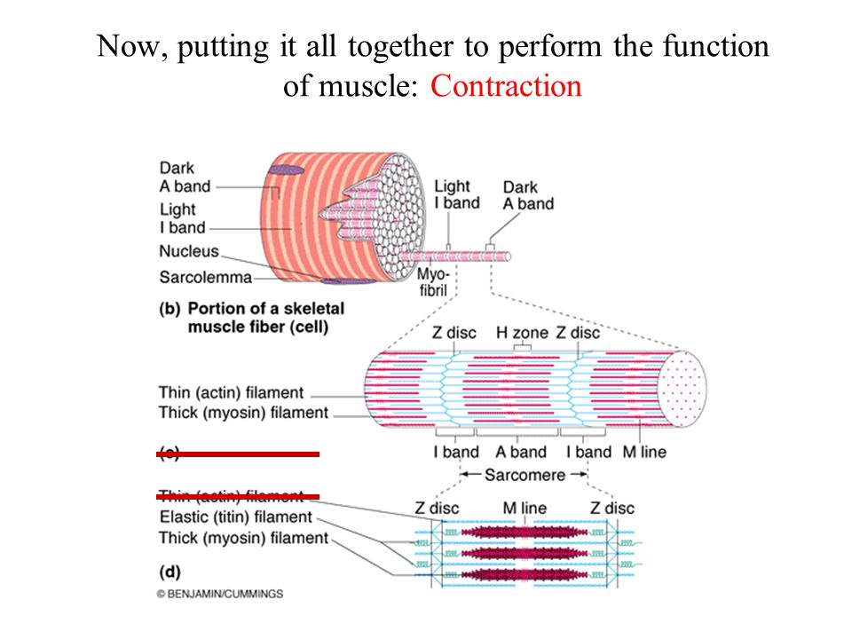 Now, putting it all together to perform the function of muscle: Contraction