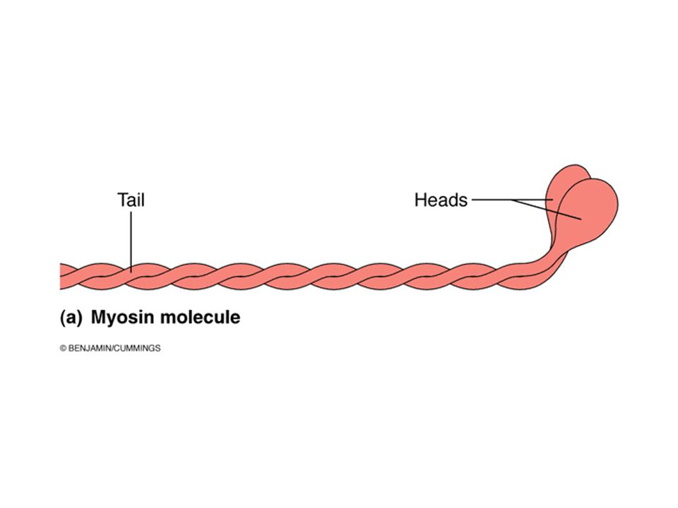 A myosin molecule is elongated with an enlarged head at the end.