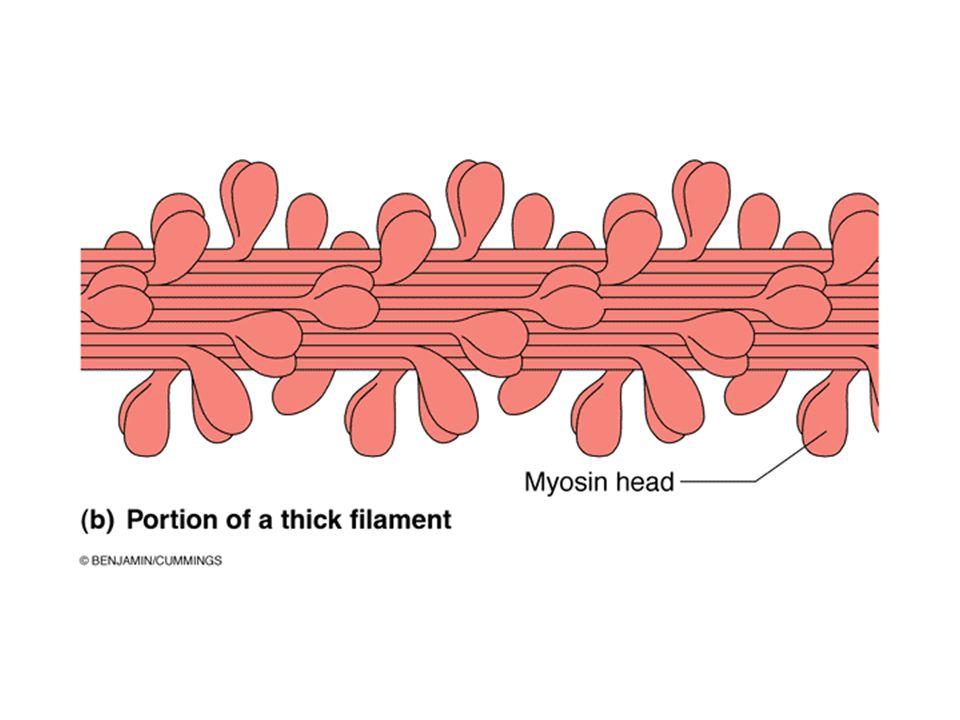 Many myosin molecules form the thick myosin filament