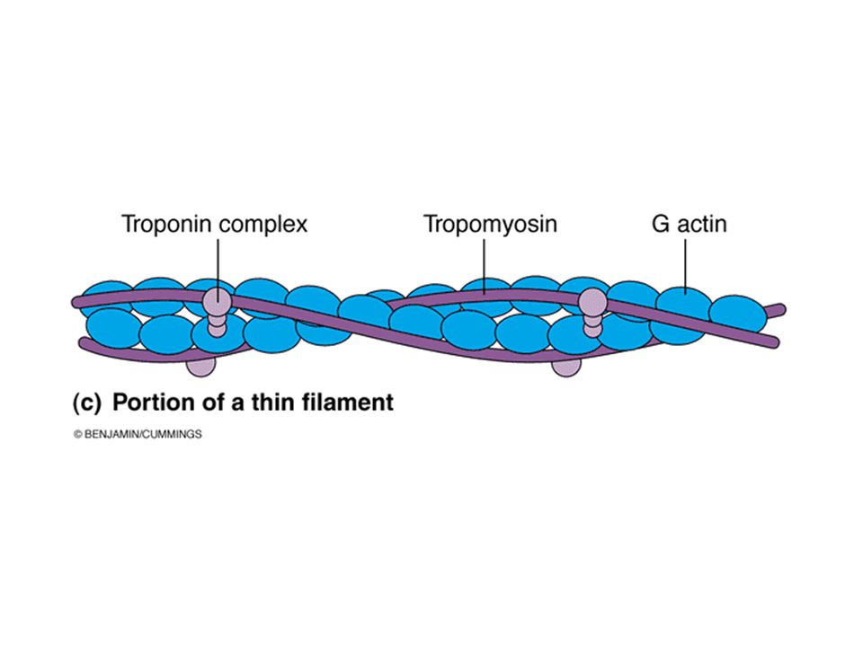 The thinner actin filament is composed of three parts: actin, tropomyosin and troponin.