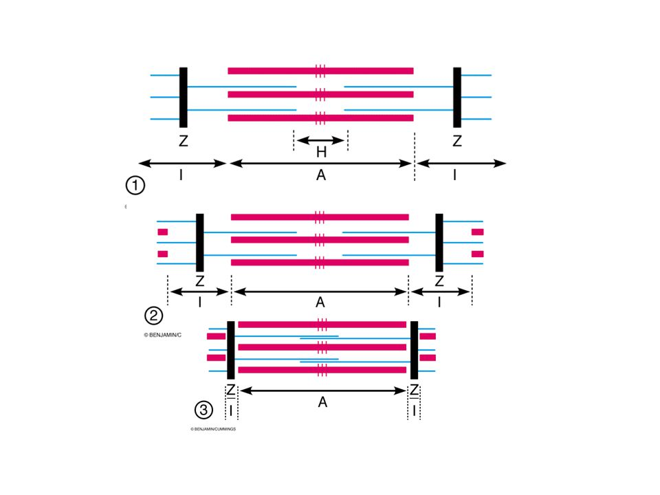 Which filament has moved as the sarcomere contracted