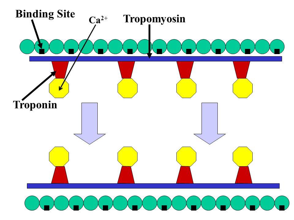Binding Site Tropomyosin Troponin Ca2+