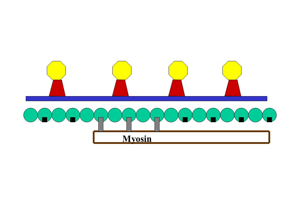 Myosin The binding sites are now exposed and myosin heads are able to attach to form cross bridges.*