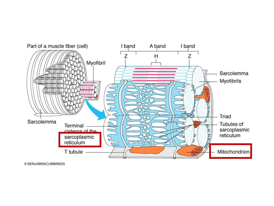 This diagram shows the microanatomy of skeletal muscle tissue again