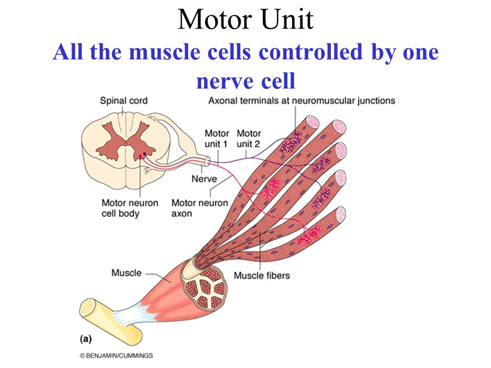 Motor Unit All the muscle cells controlled by one nerve cell