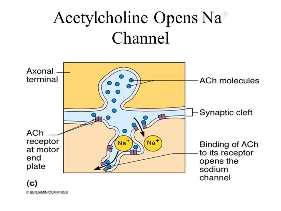 Acetylcholine Opens Na+ Channel