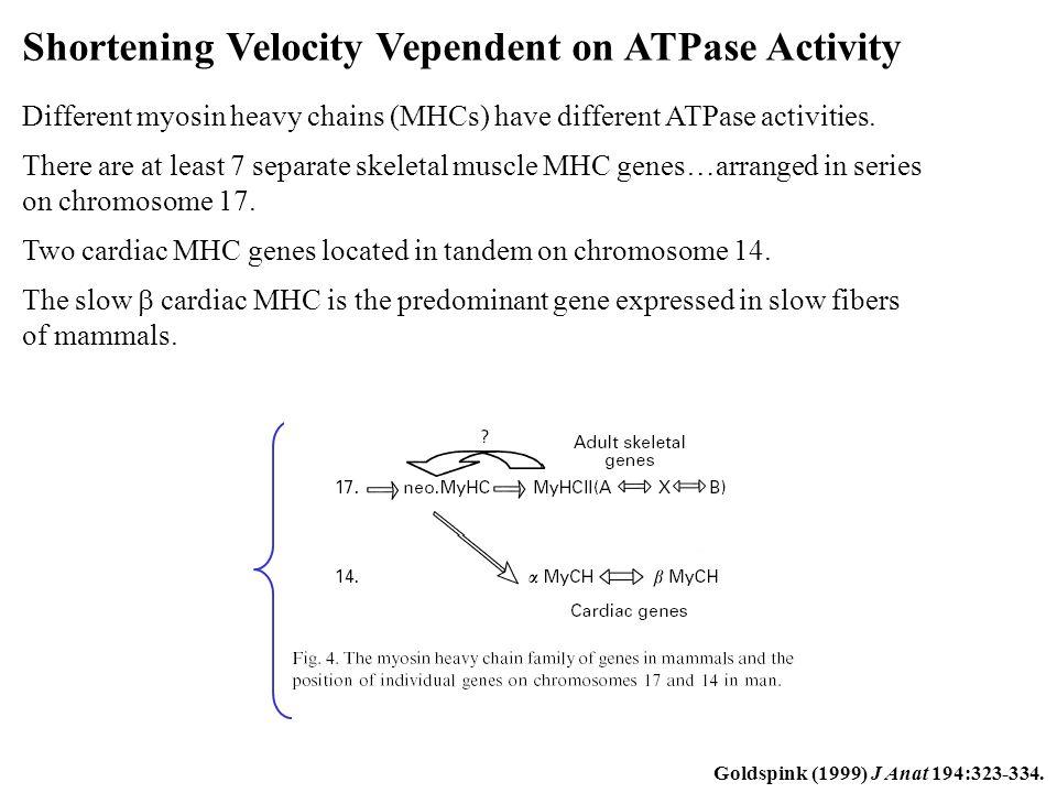 Shortening Velocity Vependent on ATPase Activity