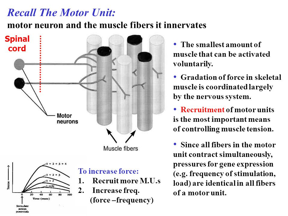 Recall The Motor Unit: motor neuron and the muscle fibers it innervates. Spinal. cord. The smallest amount of.