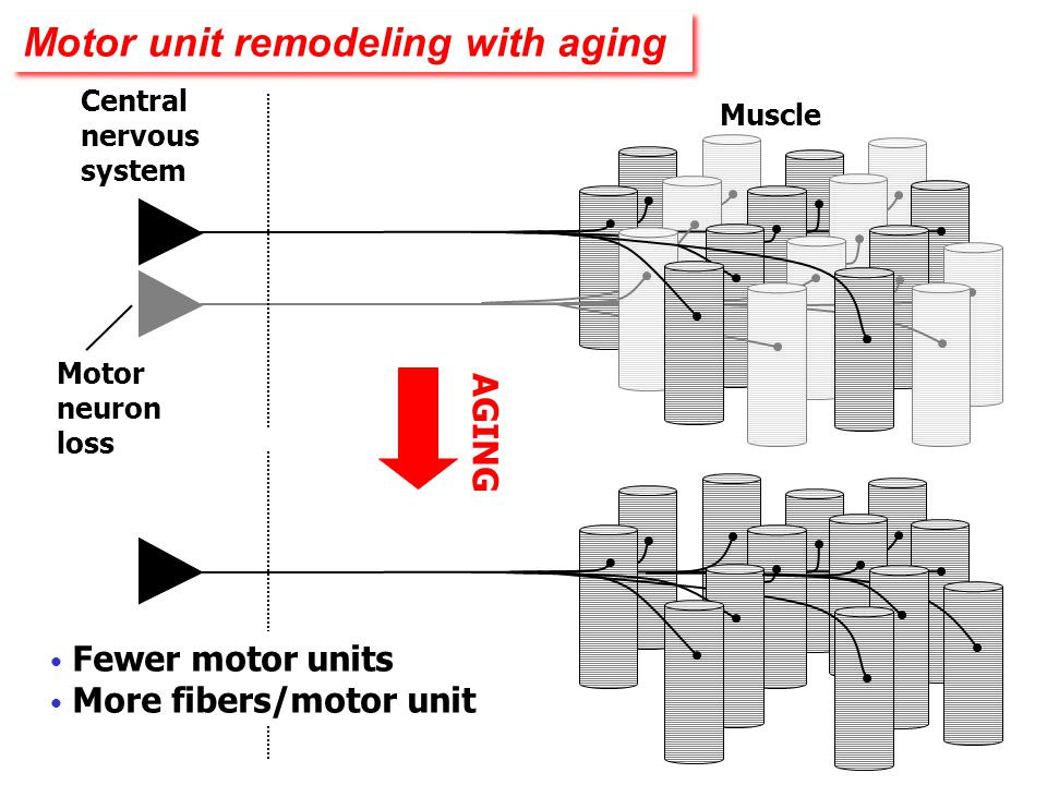 Motor unit remodeling with aging
