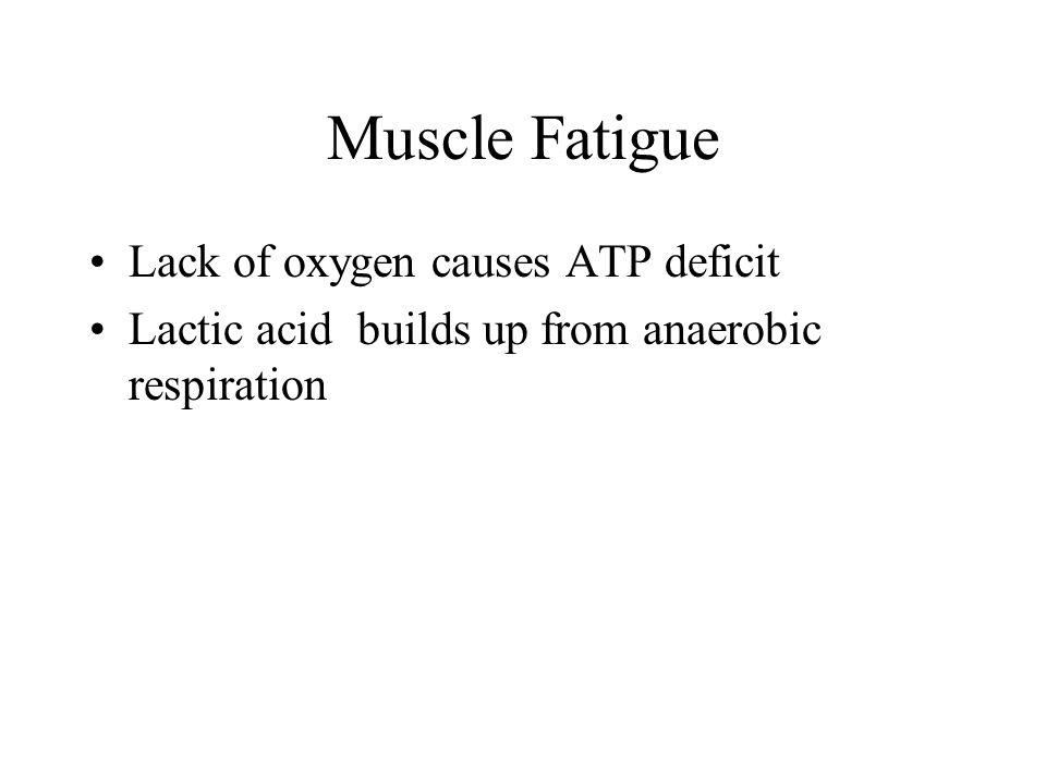 Muscle Fatigue Lack of oxygen causes ATP deficit