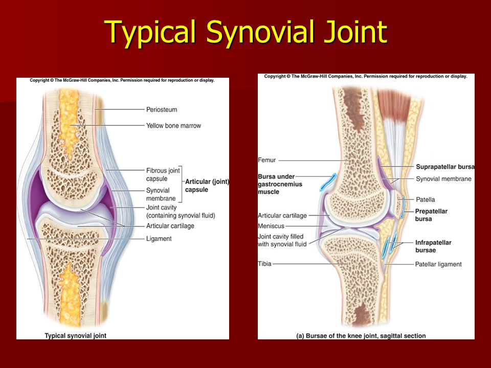 Typical Synovial Joint