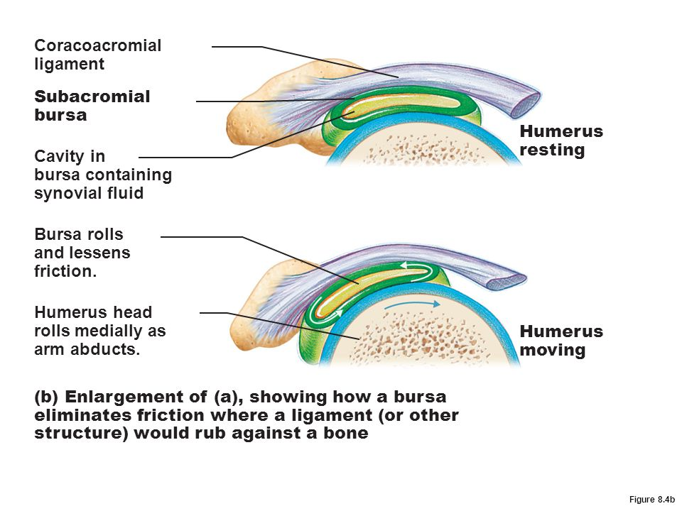 Coracoacromial ligament Subacromial bursa Humerus resting Cavity in