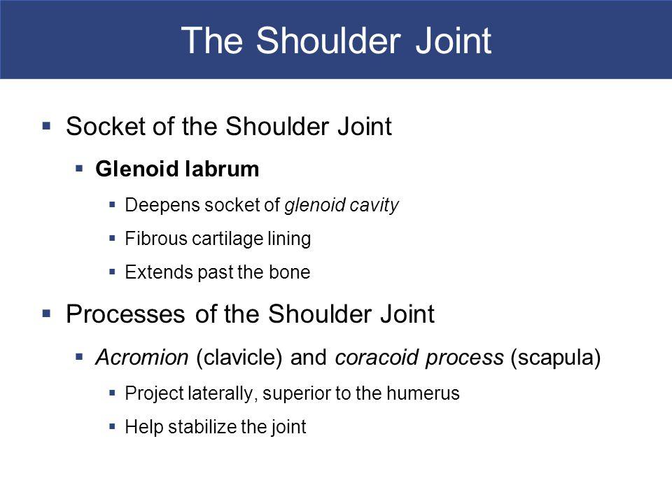 The Shoulder Joint Socket of the Shoulder Joint